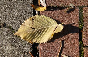 yellow leaf of hazel tree fallen on the pavement in autumn