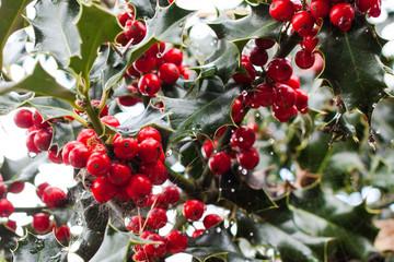Close-up of Ilex aquifolium or European holly leaves and fruit