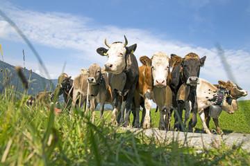 Viehscheid - Kühe - Allgäu - Obermaiselstein - malerisch