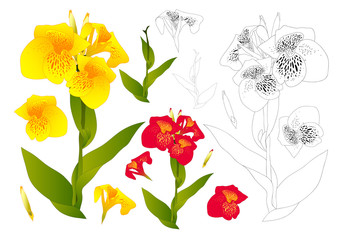 Yellow and Red Canna Lily Flower Outline