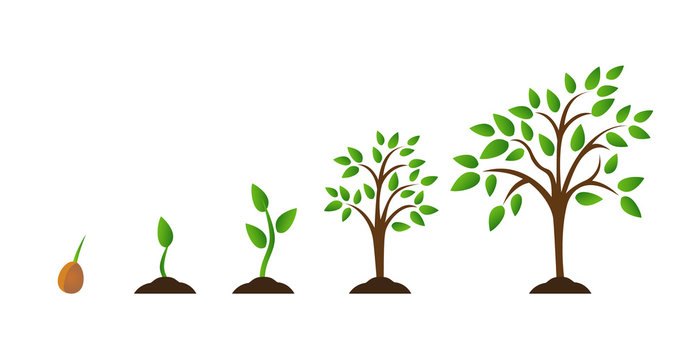 Tree growth diagram with green leaf, nature plant. Set of illustrations with phases plant growth. Flat style.