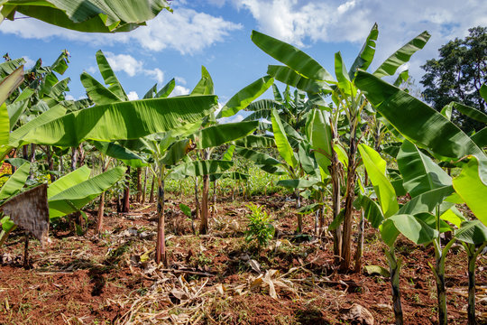 Banana Plantation in Uganda - The Pearl of Africa. These plantations are in the surrounding villages around Mbale nearby Mount Elgon
