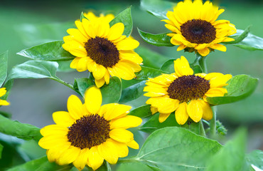 Sunflowers bloom in the morning in a sunny garden