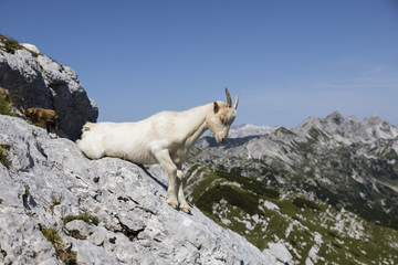 Wall Mural - Goat sits on a rock and just wants to get up, Alps in Slovenia