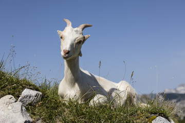 Wall Mural - Young goat sits relaxed on the meadow and looks into the camera