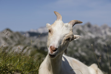 Wall Mural - Smiling young goat sits relaxed on the meadow and looks into the camera