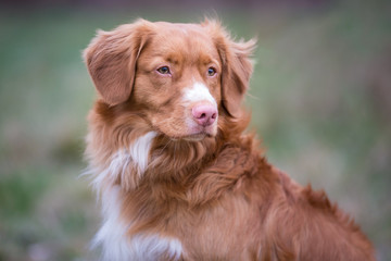 Portrait of dog breed Nova Scotia Duck Tolling Retriever
