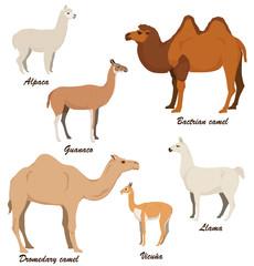 Camelids vector illustration set: dromedary camel, bactrian camel, llama, alpaca, vicugna, guanaco.