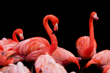 PHOENICOPTERUS RUBER, The American flamingo