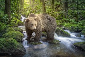 Bär im Schwarzwaldbach