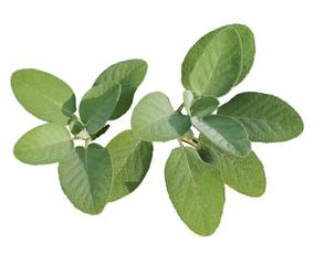 Salbei, Salvia officinalis, breitblaettrig, Culinaria