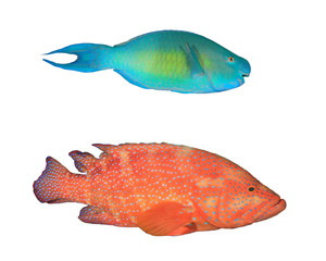 Tropical fish isolated on white background. Parrotfish and Coral Trout (Grouper)