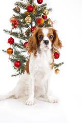 Christmas dog. Cavalier king charles spaniel with christmas tree.