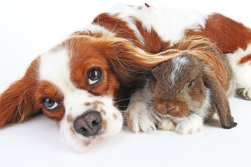 Dog and rabbit together. Animal friends. Rabbit bunny pet white fox rex satin real live lop widder nhd dwarf dutch with cavalier king charles spaniel dog. Christmas animals Valentines day pet concept