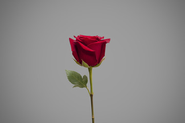 Single rose on colour background isolated, front view