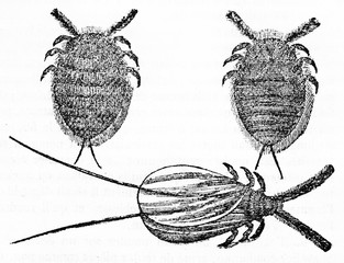 Three isolated Scale insect, small insects of the order Hemiptera, suborder Sternorrhyncha. Old Illustration by unidentified author published on Magasin Pittoresque Paris 1834