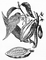 Old botanical isolated illustration of Cacao tree, flowers, fruit and leaves. Old Illustration by unidentified author published on Magasin Pittoresque Paris 1834