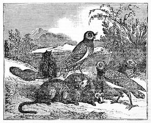 Burrowing owls (Athene cunicularia) nest and roost in burrows, such as those excavated by prairie dogs (Cynomys spp.). By unidentified author, published on Magasin Pittoresque, Paris, 1834