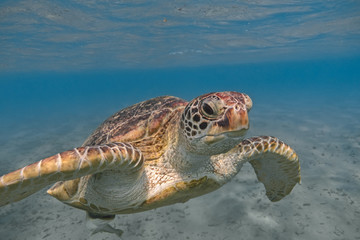 Green sea turtle swimming in the tropical sea close up