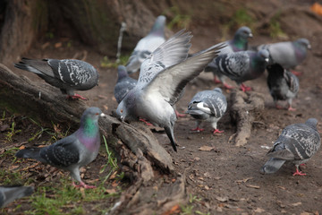 landing pigeon with many common pigeons near a tree