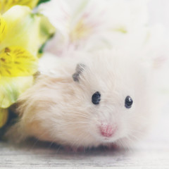 A cute fluffy hamster and gentle yellow flowers. Greeting card with funny animals. Photos in gentle pastel colors.