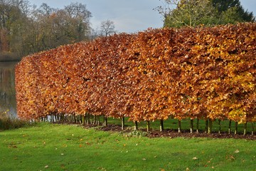 Hornbeam hedge in autumn, Carpinus betulus