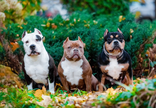 Portrait of three puppies, American bully nature