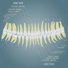 Vector image of human teeth. The name of all teeth.