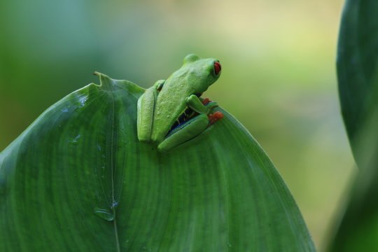 Red-Eyed Leaf (Tree) Frog in Costa Rica