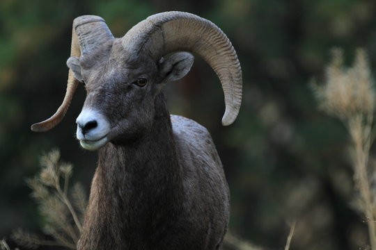 wild bighorn sheep in canada