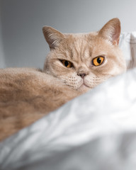 British shorthair, um gato lindo