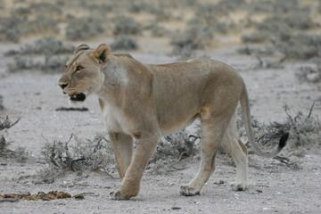 Wild lioness at Etosha National Park, Namibia