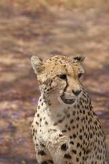 Friendly looking cheetah