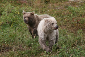 Two little cute white and brown grizzly bears in Alaska