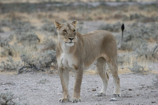 Wild lioness at Etosha National Park, Namibia