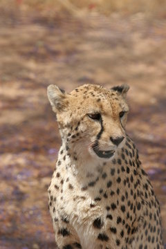 Friendly looking cheetah
