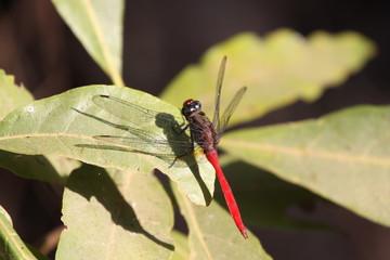 closeup of dragon-fly on green leaf