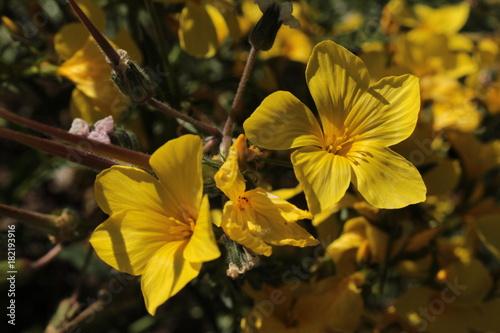 Yellow flax flowers or bell flax glocken lein in st gallen yellow flax flowers or bell flax glocken lein in st mightylinksfo