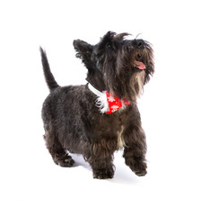 Black scottish Terrier with bow tie