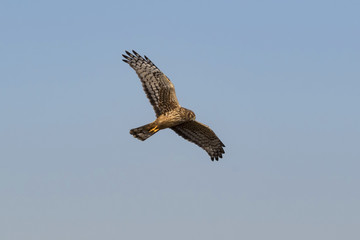 Bird northern harrier hunting from high above wetlands
