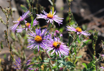 Wild purple Asters in the afternoon sun