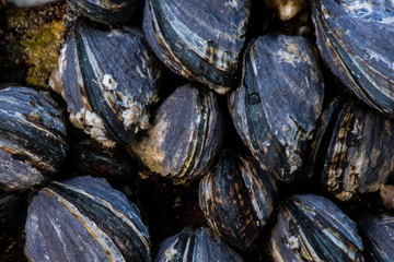 Close Up of Mussel Shells