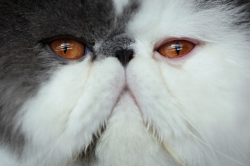 "A Persian cat is seen during the sixth edition of the ""Mi Mascota"" (My Pet) fair in Malaga"