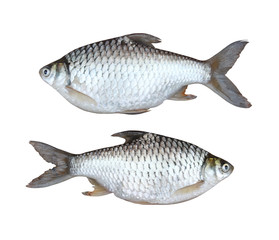 silver carp freshwater fish isolated on white background.