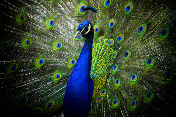 peacock,Pavo cristatus