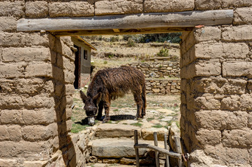 Donkey eating  La isla del Sol Lake TIticaca