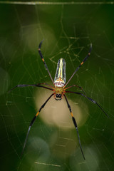 Image of Golden Long-jawed Orb-weaver Spider(Nephila pilipes) on the spider web. Insect. Animal