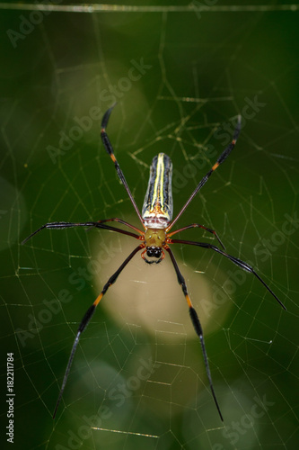 image of golden long jawed orb weaver spider nephila pilipes on the