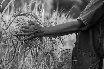 Hand farmer with rice harvest, Concept farmer.