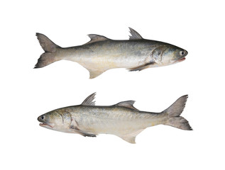Fresh fourfinger threadfin or Indian salmon fish isolated on white background.